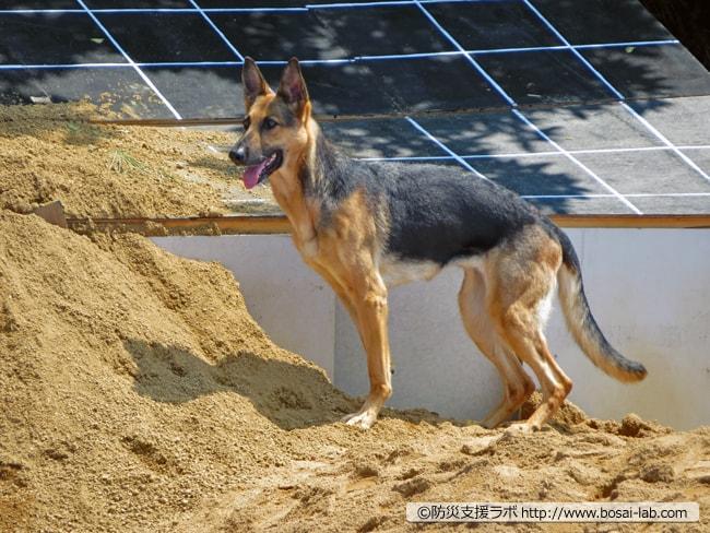 日本レスキュー協会の災害救助犬(シェパード)による要救助者を捜索。捜索後の待機状態では常にハンドラーと目線を合わせている様子でした。