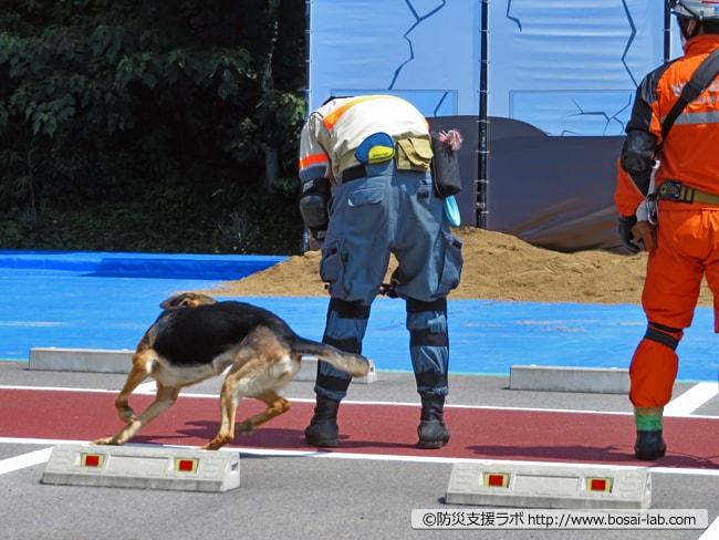 機敏な動きでハンドラーの元へ戻るシェパードの災害救助犬。